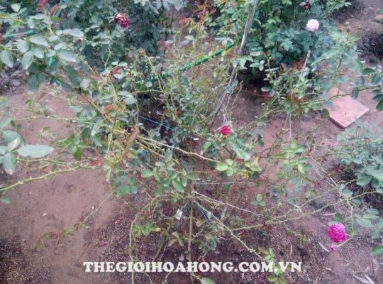 Làm vệ sinh vườn hồng trước khi phun thuốc trừ nấm bệnh (2)
