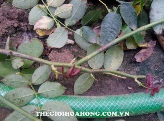 Làm vệ sinh vườn hồng trước khi phun thuốc trừ nấm bệnh (4)