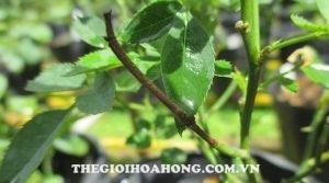 Lý giải nguyên nhân cành hồng bị đen nhánh sau cắt tỉa (1)