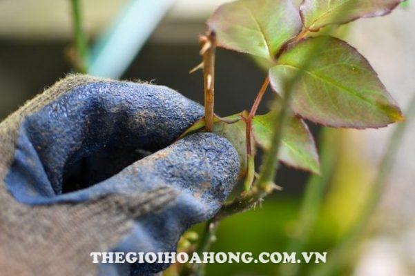 Lý giải nguyên nhân cành hồng bị đen nhánh sau cắt tỉa (3)