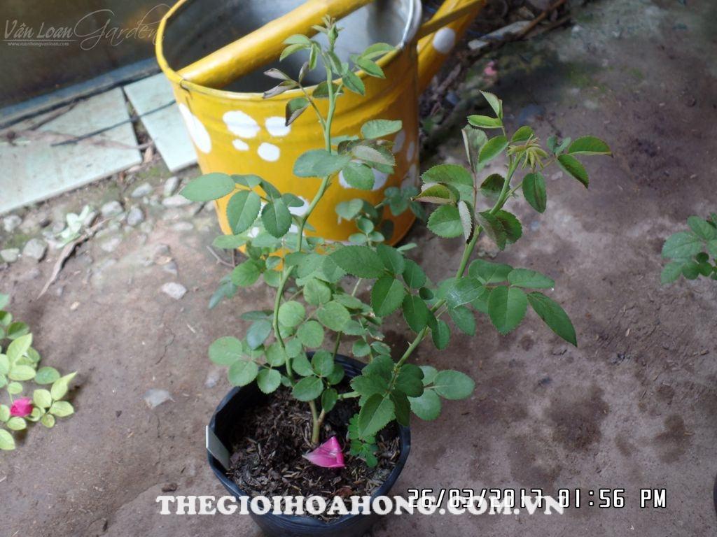 Lý giải nguyên nhân cây hoa hồng bị héo và cháy lá (1)