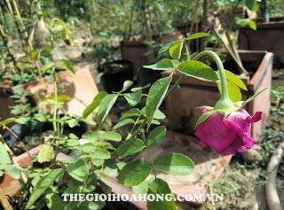 Lý giải nguyên nhân cây hoa hồng bị héo và cháy lá (2)