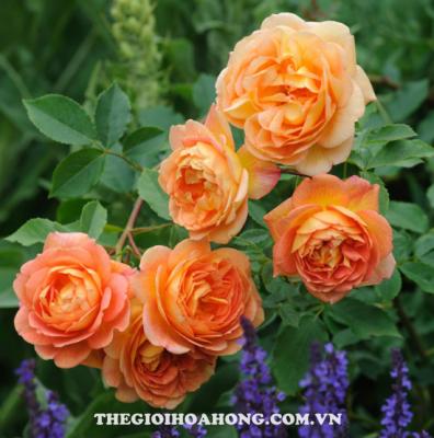 Mách bạn cách trồng hoa hồng leo ngoại cực đơn giản (2)