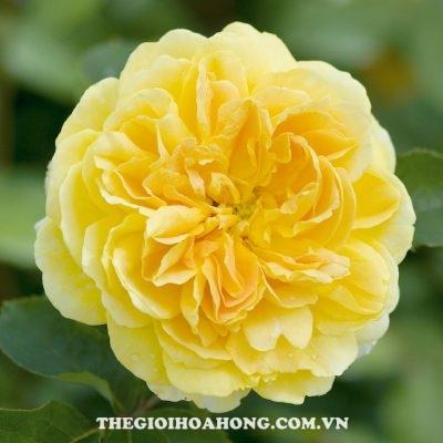 Mãn nhãn trước 5 sắc hoa hồng leo màu vàng đẹp mắt (1)
