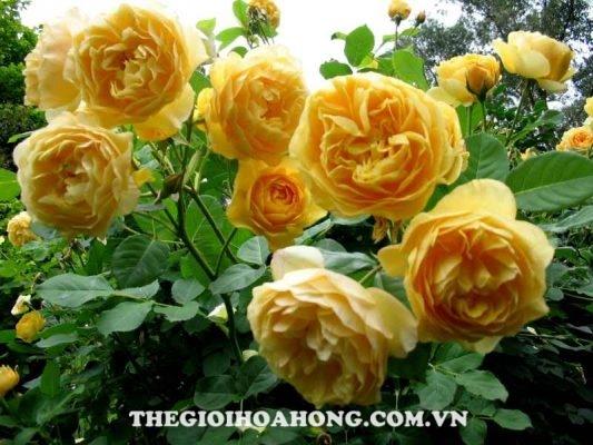 Mãn nhãn trước 5 sắc hoa hồng leo màu vàng đẹp mắt (2)