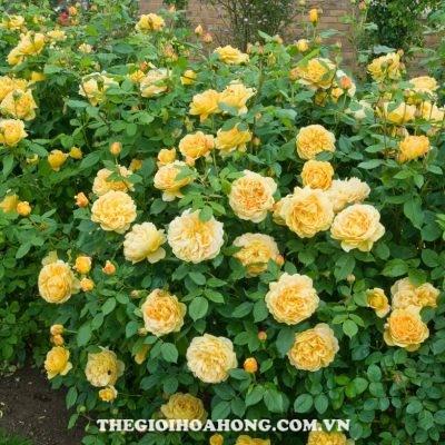 Mãn nhãn trước 5 sắc hoa hồng leo màu vàng đẹp mắt (3)