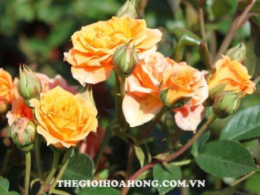 Mãn nhãn trước 5 sắc hoa hồng leo màu vàng đẹp mắt (5)
