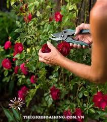 Mẹo chăm sóc cây hoa hồng mới mua về (2)