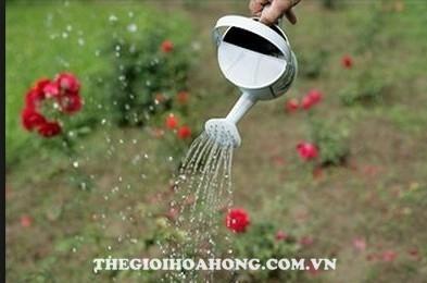 Mẹo chăm sóc cây hoa hồng mới mua về (4)