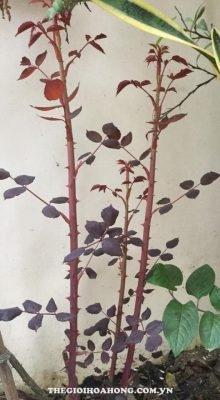 Mẹo giúp cây hoa hồng ra nhiều tược non (1)