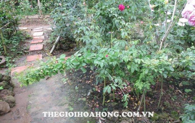 Mẹo giúp cây hoa hồng ra nhiều tược non (3)