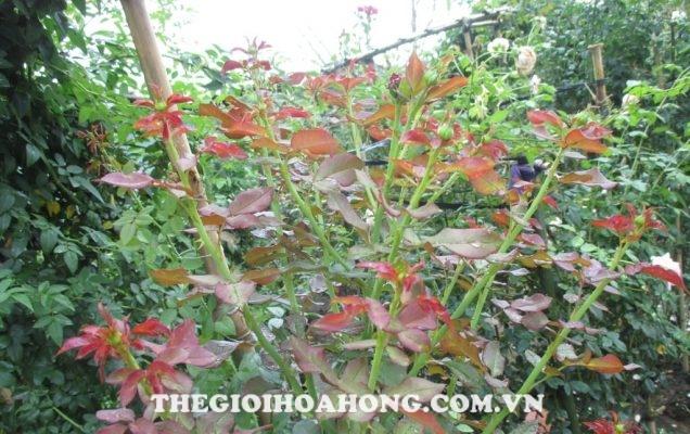Mẹo giúp cây hoa hồng ra nhiều tược non (4)