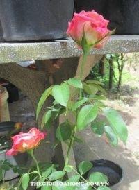 Mẹo giúp chọn nhánh hồng ghép cành tốt nhất (1)