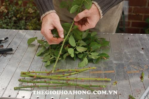 Mẹo giúp chọn nhánh hồng ghép cành tốt nhất (2)