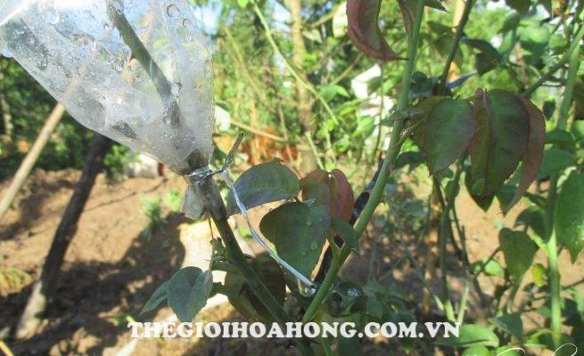 Mẹo giúp chọn nhánh hồng ghép cành tốt nhất (4)