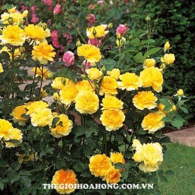 Mua giống hoa hồng leo chính gốc ở đâu? (1)