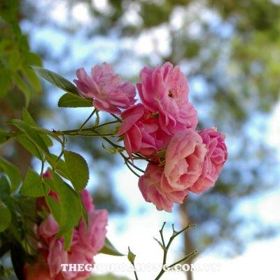 Mua giống hoa hồng leo chính gốc ở đâu? (2)