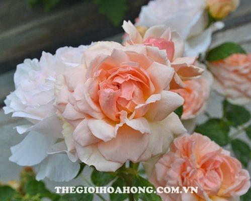 Mua giống hoa hồng leo chính gốc ở đâu? (3)