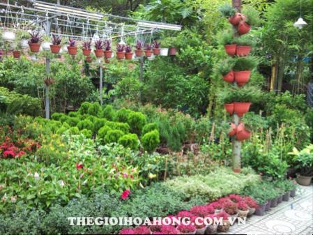 Mua hoa hồng leo ở đâu chất lượng tại Hà Nội? (1)