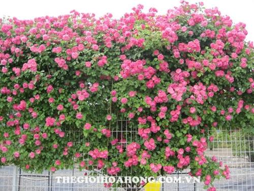 Mua hoa hồng leo ở đâu chất lượng tại Hà Nội? (4)