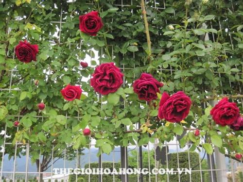 Cây hoa hồng dễ bị nấm vào mùa mưa
