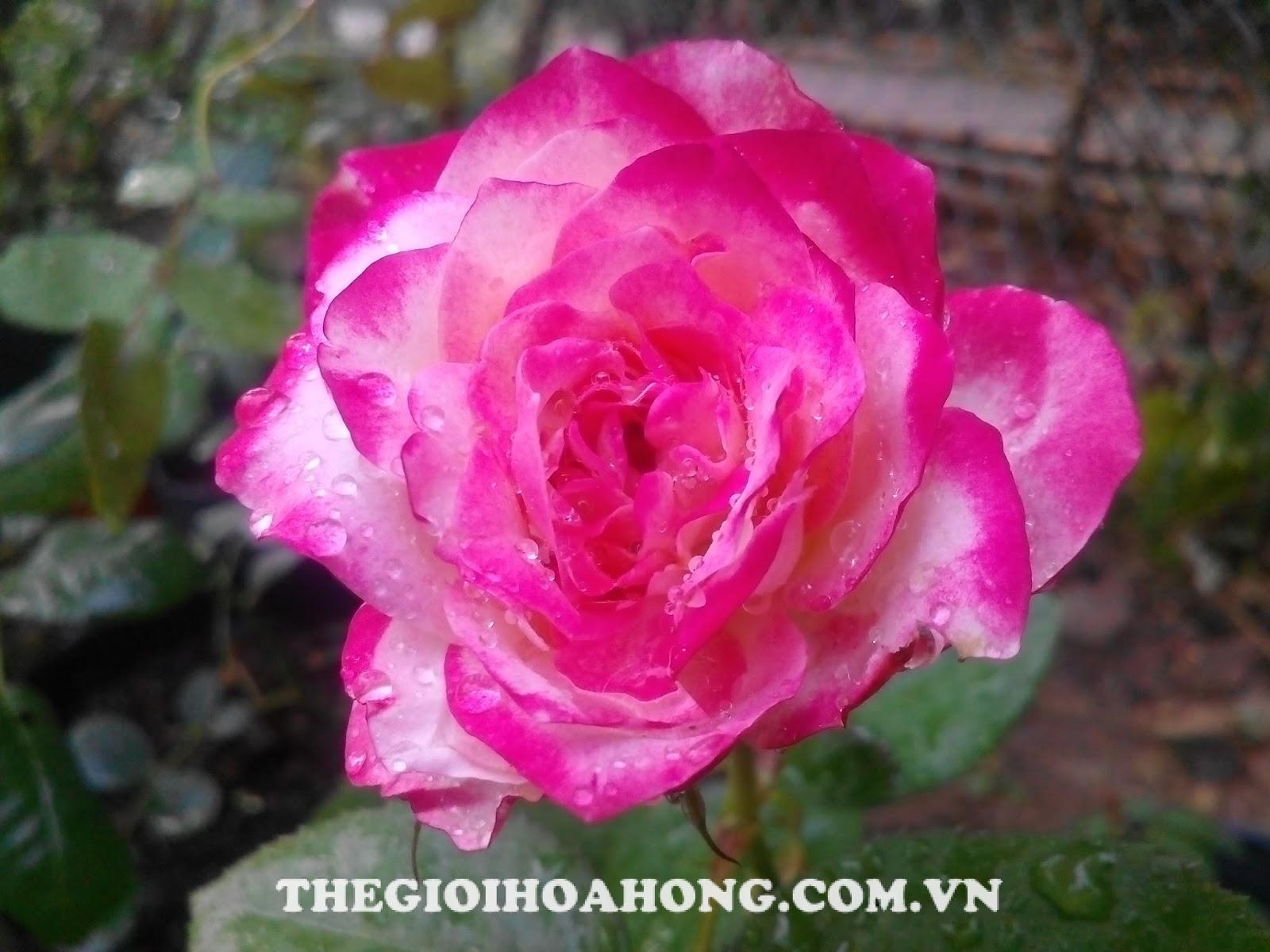 Cây hoa hồng nở vào mùa mưa