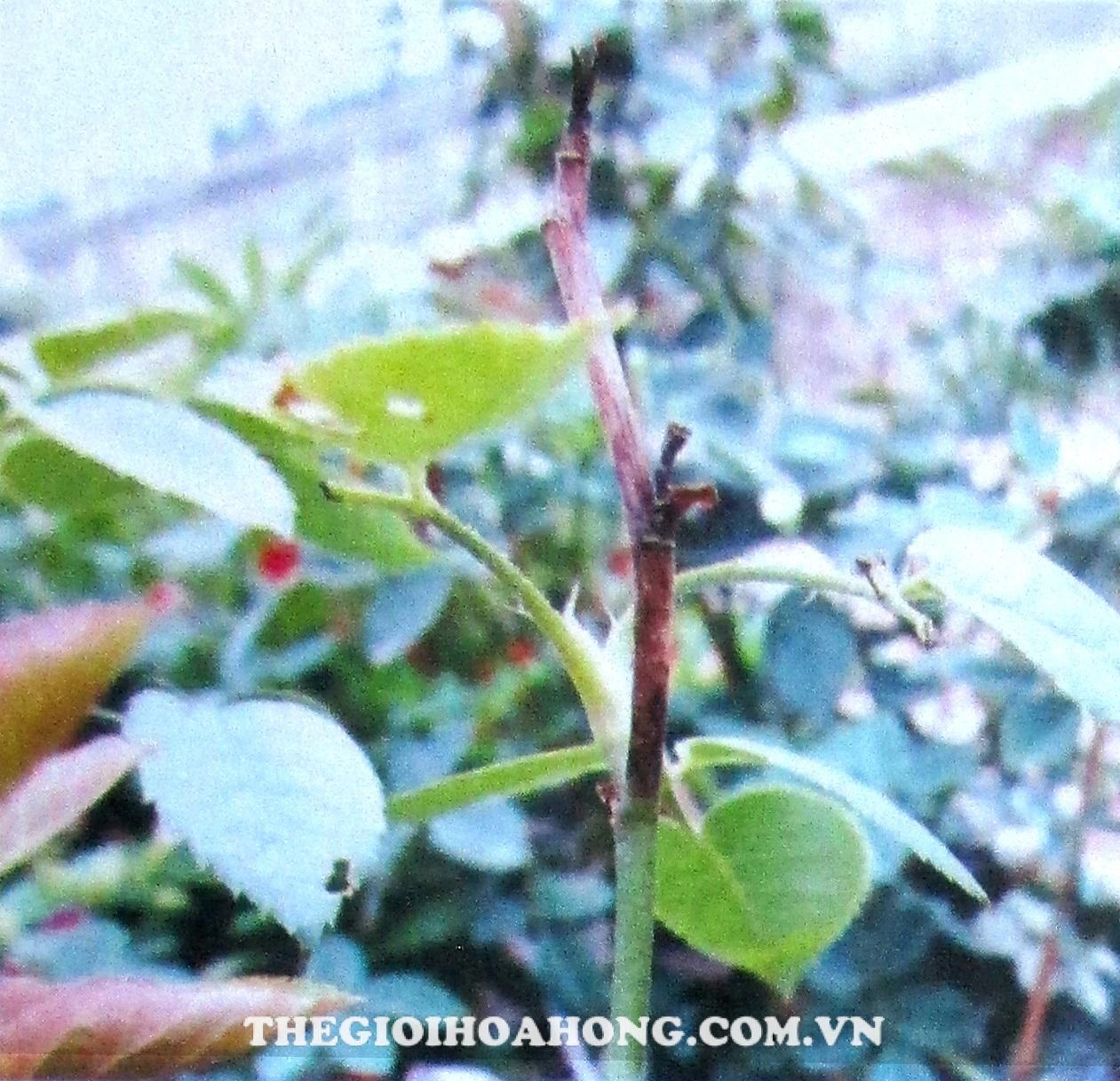 Bệnh khô cành trên cây hoa hồng do nấm