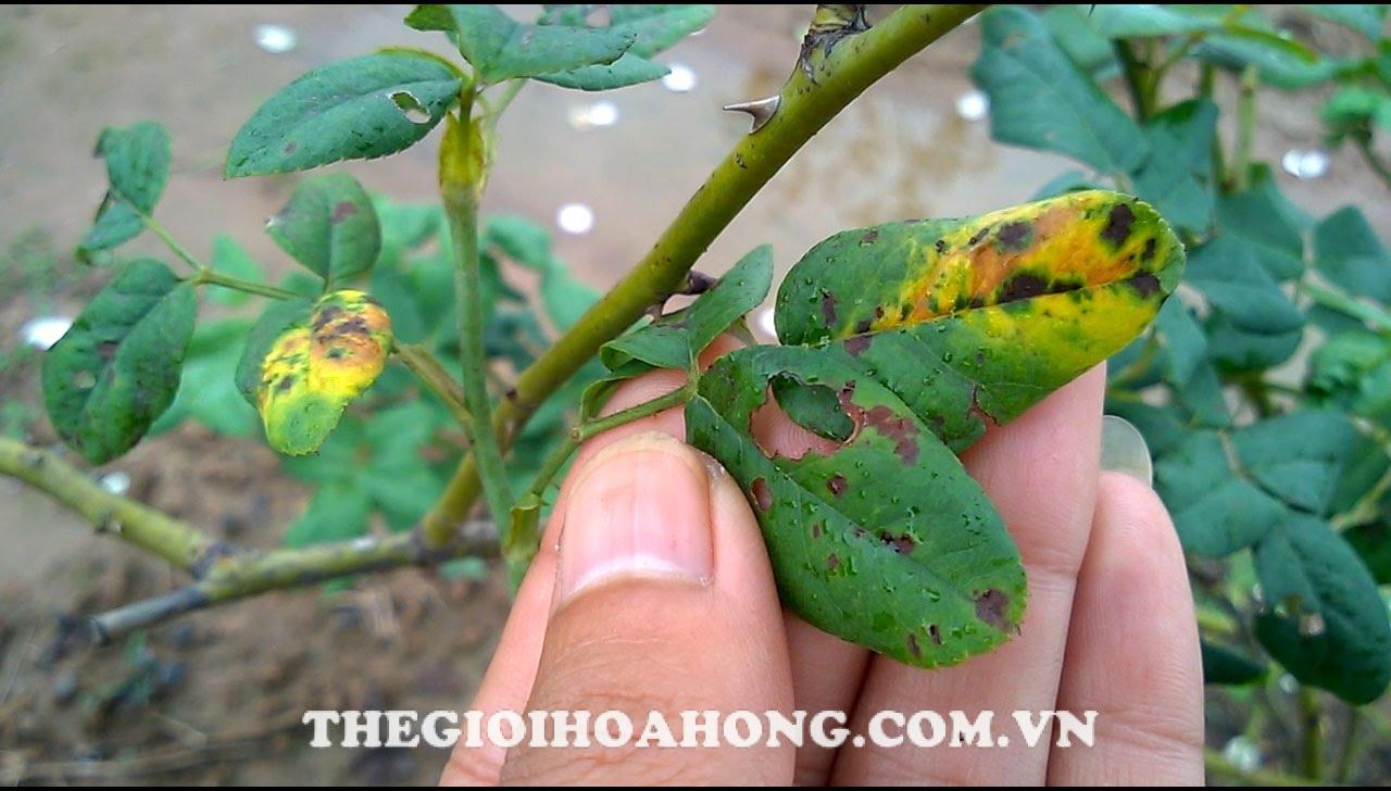 Cách trị Nấm Botryodiplodia gây nên  bệnh khô cành hại cây hoa hồng