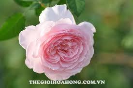 Ngắm vẻ đẹp hoa hồng Misaki đến từ Nhật Bản (1)