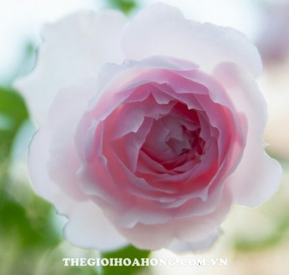 Ngắm vẻ đẹp hoa hồng Misaki đến từ Nhật Bản (3)