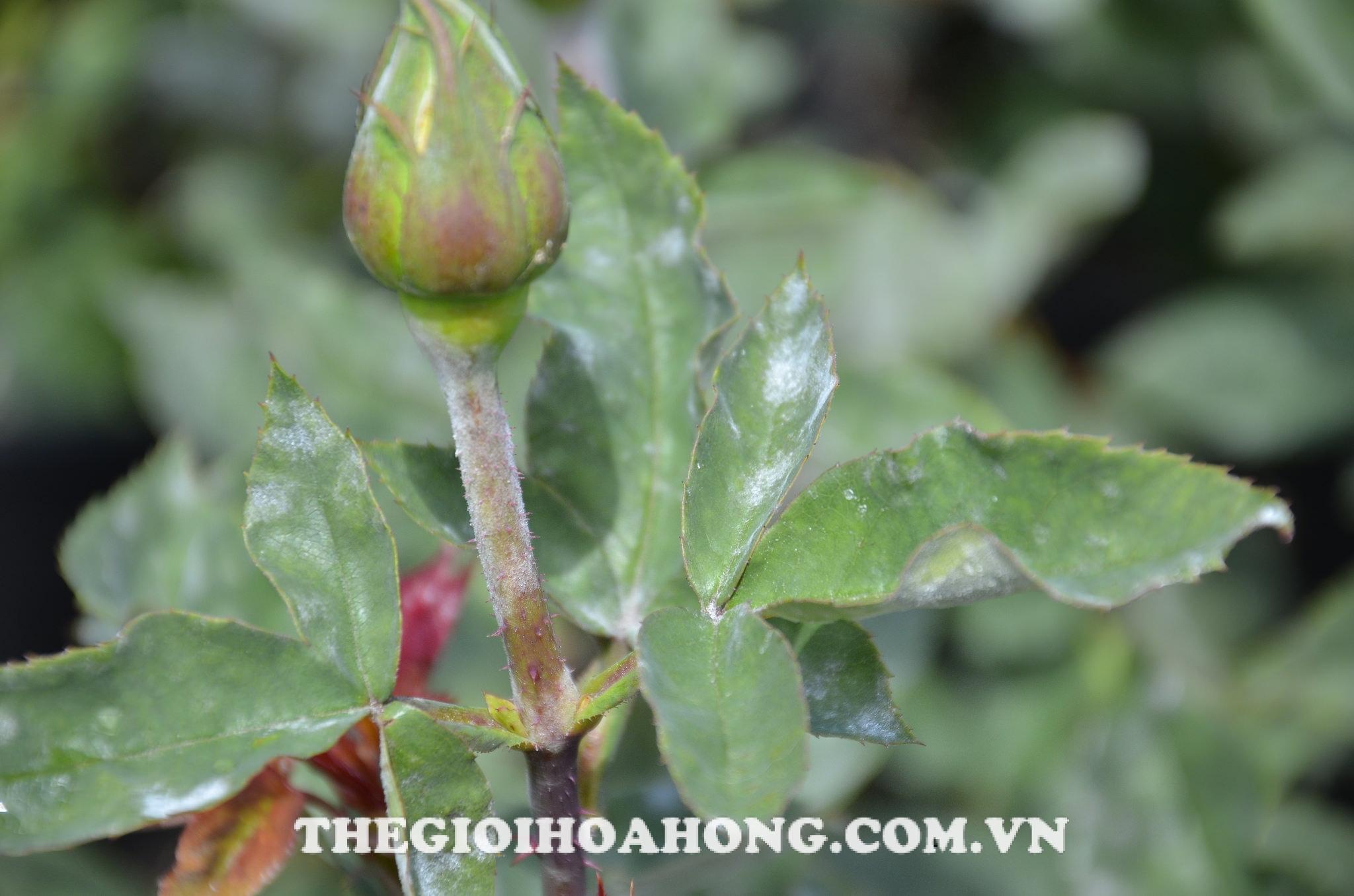 Nhện đỏ răng màng tơ trên cây hoa hồng