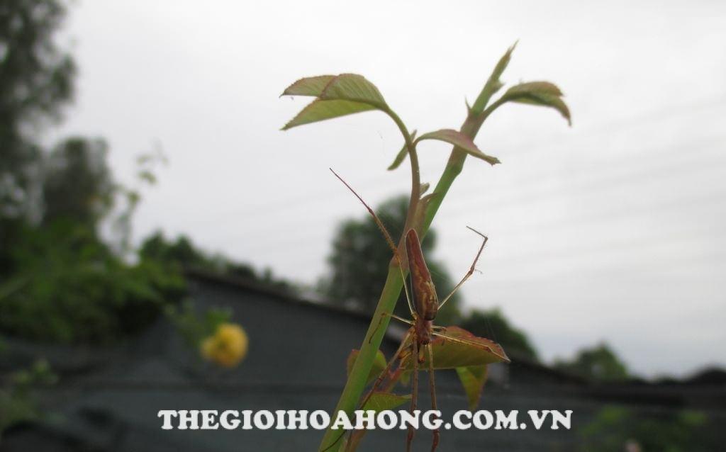 Nuôi nhện giúp hạn chế sâu ăn lá hại hoa hồng