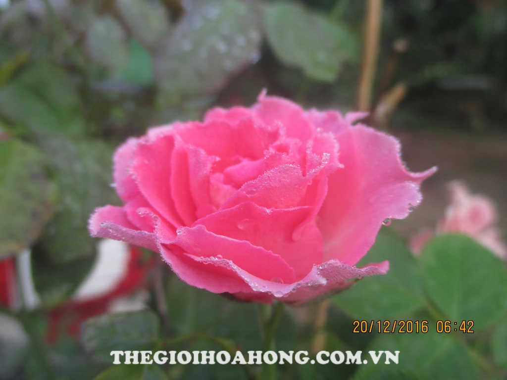 Phòng bệnh cho cây hoa hồng trong những ngày sương mù (2)