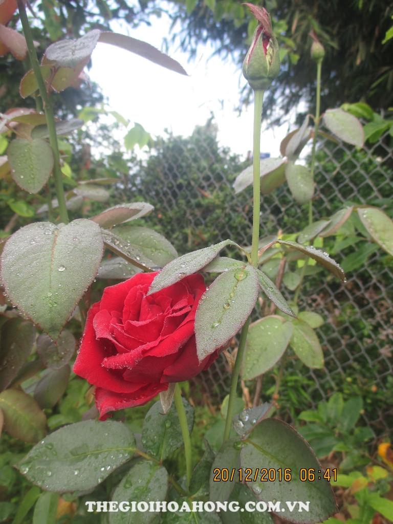 Phòng bệnh cho cây hoa hồng trong những ngày sương mù (3)