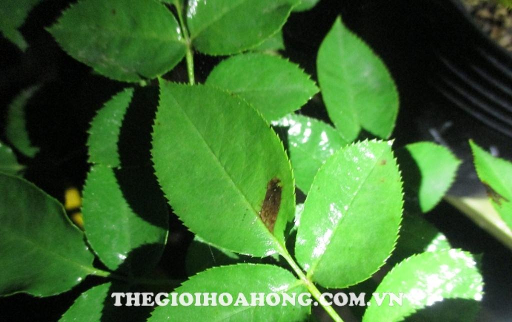 Bổ sung thêm Kali hoặc Canxi giúp phòng bệnh cho cây hồng