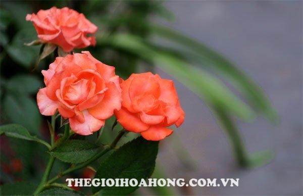 Cây hoa hồng được bảo vệ sau khi phòng bệnh