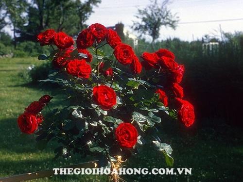 Hoa hồng pinocchino tree rose