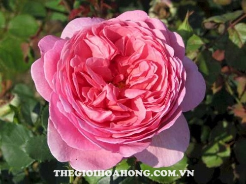 Hoa hồng Tree Rose Princess Alexandra of Kent
