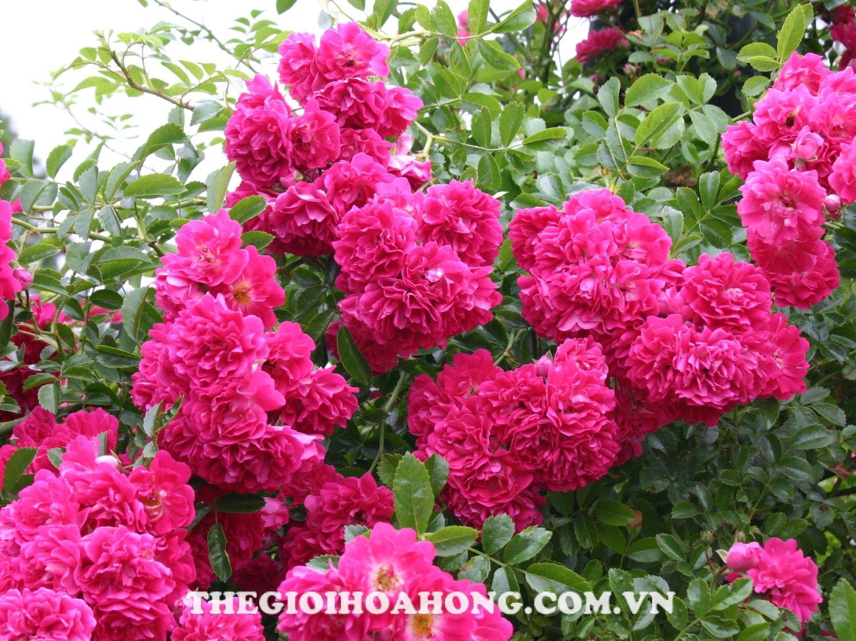 Hoa hồng leo rambling roses bông từng chùm khá đẹp