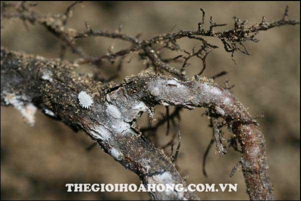 Rệp sáp hại gốc cây hoa hồng