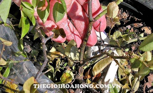 Rệp sáp hại gốc cây hoa hồng gây hậu quả cây bị chết khô