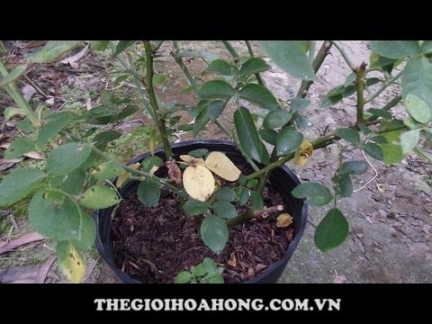 Spodoptera litura Fabricius tấn công cây hoa hồng