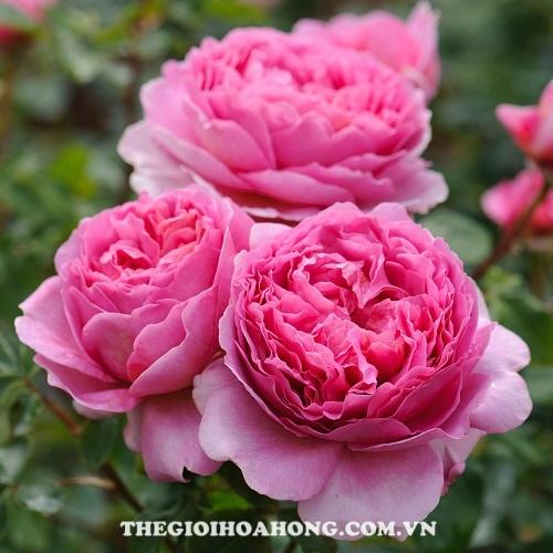 Hoa hồng tree rose soeur emmanuelle