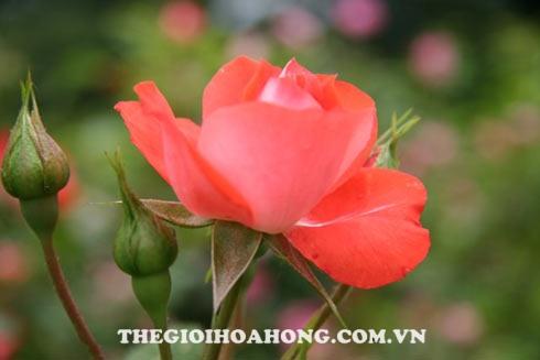 Trị được bệnh sương mai làm vàng lá hại cây hoa hồng cây khỏe và ra hoa đẹp