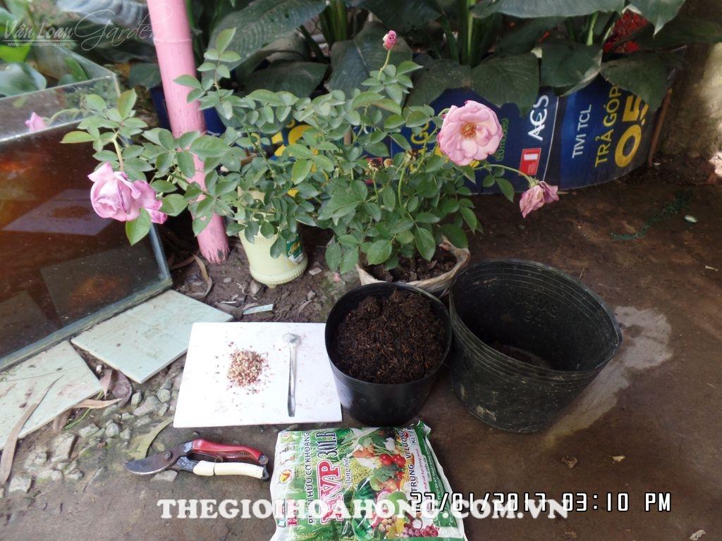 Tất tần tật về chăm sóc hoa hồng trồng chậu sau dịp Tết (1)
