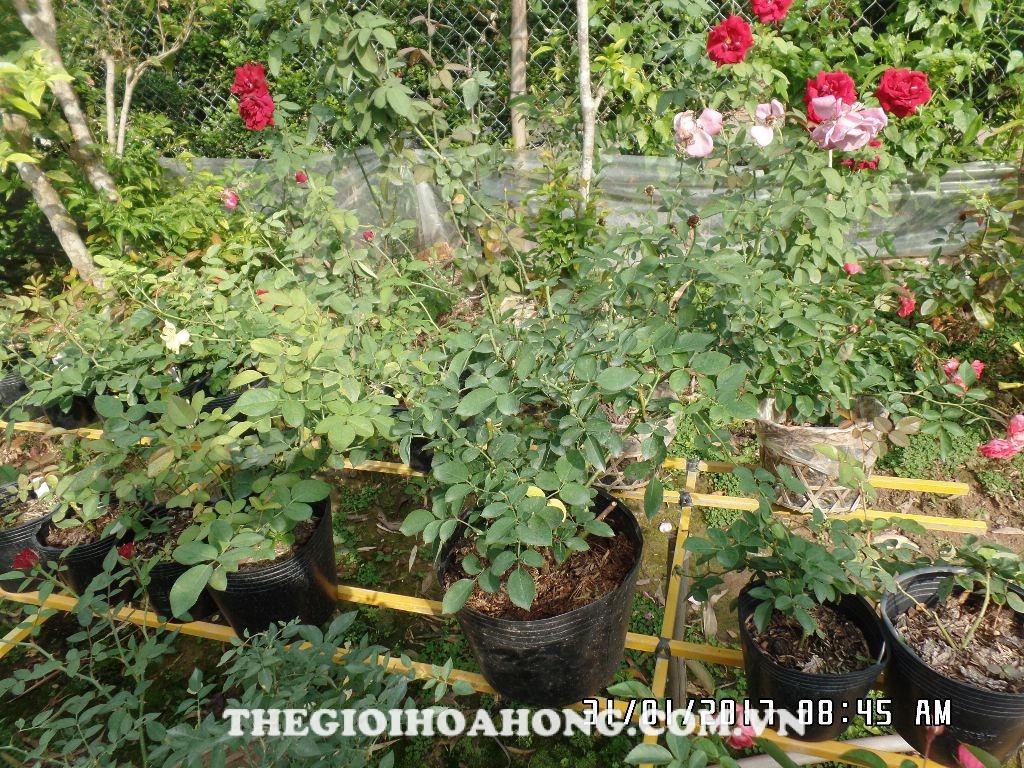 Tất tần tật về chăm sóc hoa hồng trồng chậu sau dịp Tết (2)