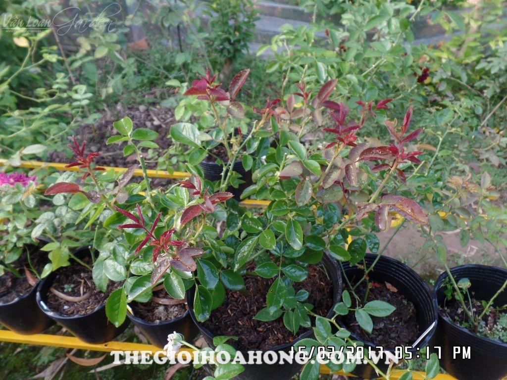 Tất tần tật về chăm sóc hoa hồng trồng chậu sau dịp Tết (4)