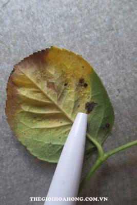 Bệnh thán thư dẫn tới rụng lá cây hoa hồng