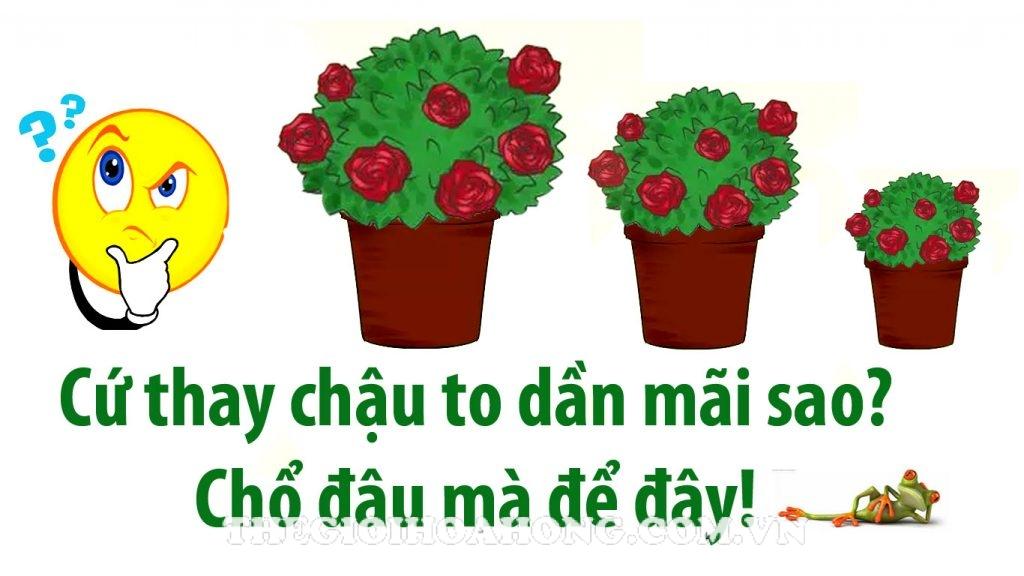 Thay đất cho cây hoa hồng trồng chậu đúng cách (1)