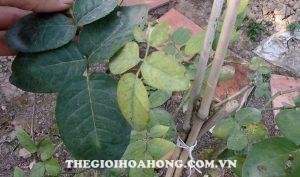 Thay đất cho cây hoa hồng trồng chậu đúng cách (2)